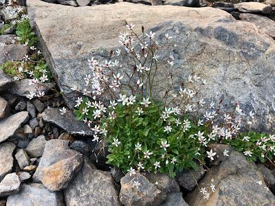 [Saxifragaceae] Micranthes engleri – Starry Saxifrage (Sassifraga di Engler, Sassifraga stellata)