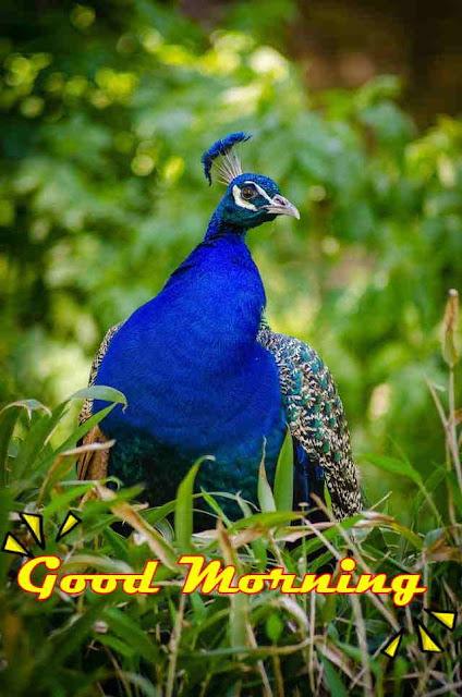 good morning peacock birds