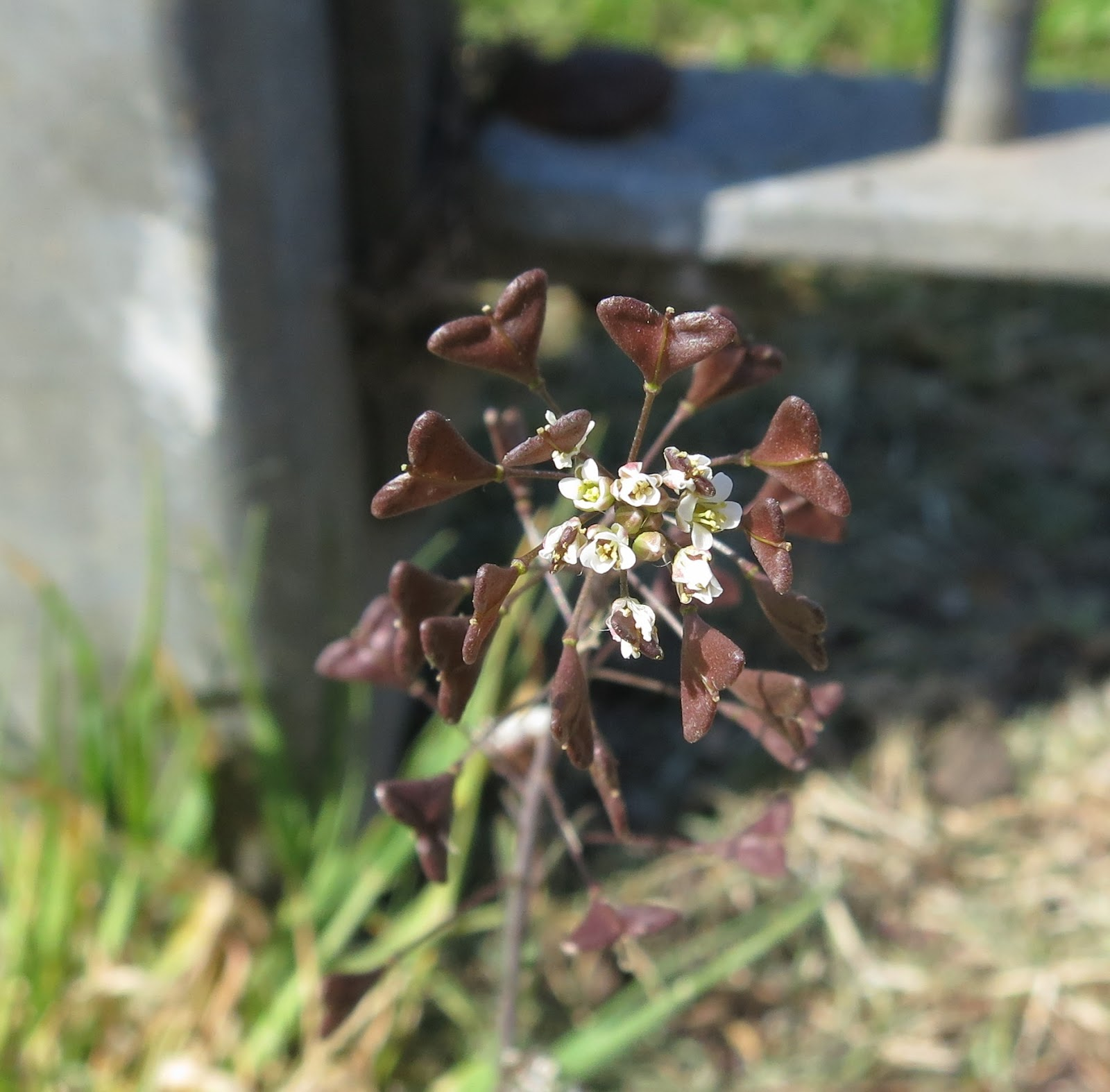 White flowers and dark brown seedpods on Shepherd's Purse plant