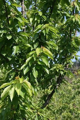 The Cherry Orchard -Eleutheria
