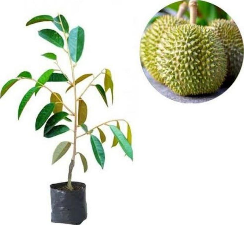 Bibit Durian Kanjau Palu