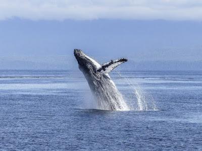Baleias, turismo, observação de baleias, whalewatching, natureza, whale, inverno