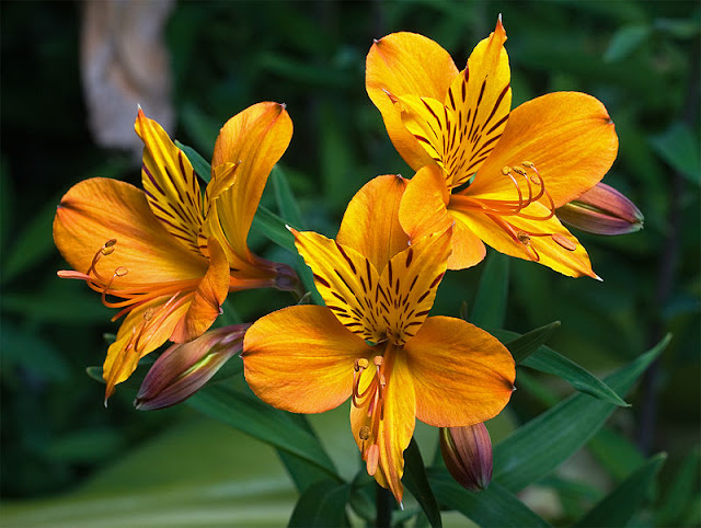 Yellow Alstroemeria flower