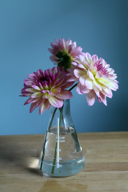 dahlias, summer flowers, erlenmeyer flask, Anne Butera, My Giant Strawberry