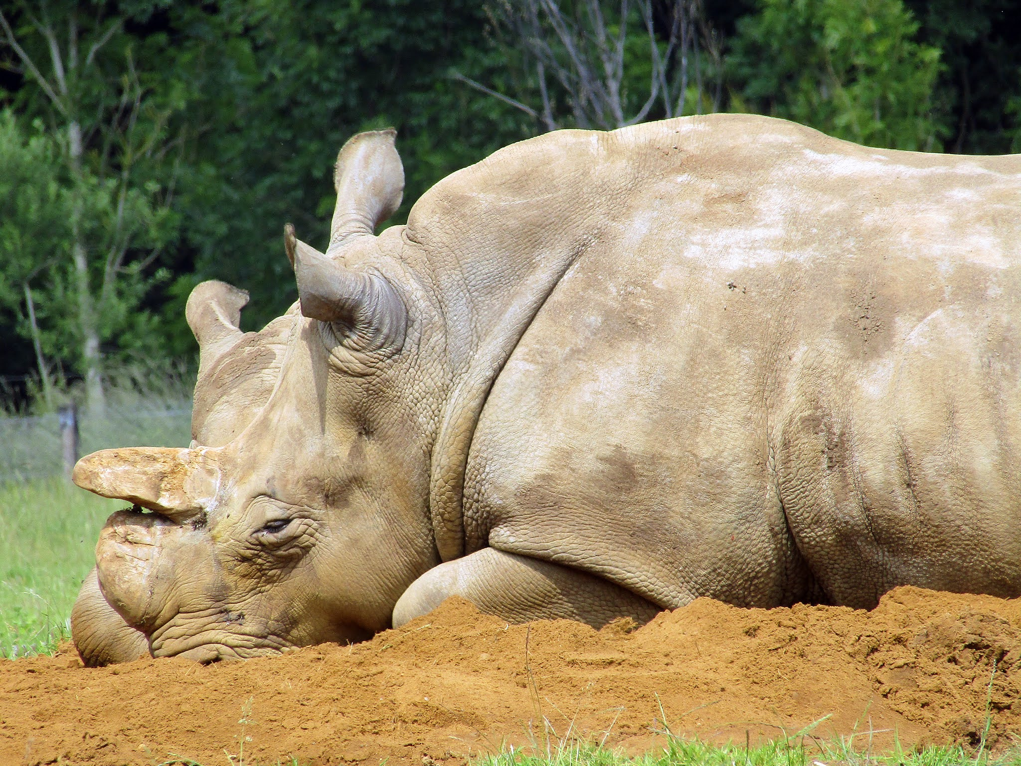 A photo of a sleeping white rhino at Whipsnade Zoo.