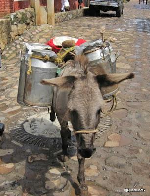 Asno cargando bidones con leche