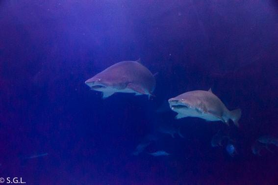 Un dia entero en el Oceanografic. Tiburones