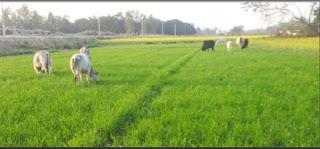 छुट्टा पशुओं से किसान हलकान    #NayaSaberaNetwork