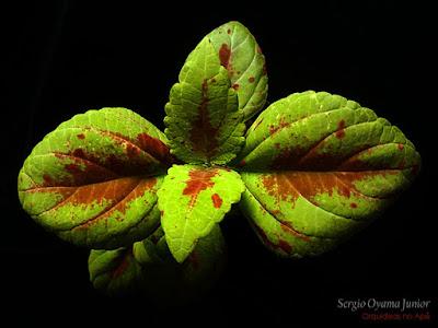 Coleus - Solenostemon scutellarioides