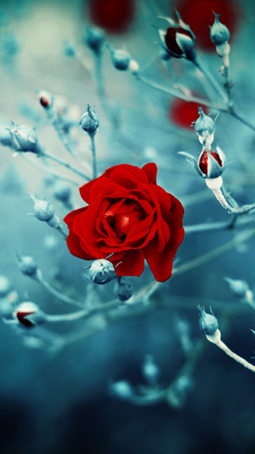 Download Hd Rose Wallpapers For Android Mobile Download