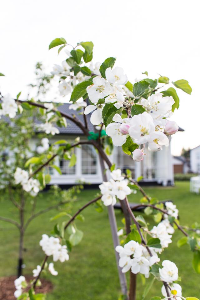 omenapuu, piha ja puutarha