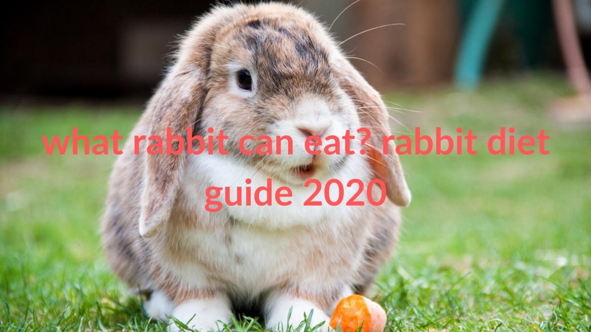 what rabbit can eat? rabbit diet guide 2020