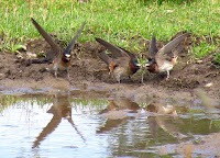 Cliff swallows collecting mud in a puddle Prince Edward Point, ON - photo by Gordon E. Robertson
