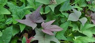 bisa ditempuh dengan cara pengobatan solusi alternatif Mengobati demam berdarah dengan daun ubi jalar