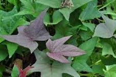 Mengobati demam berdarah dengan daun ubi jalar
