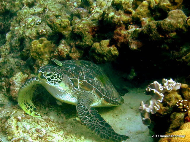 green sea turtle, cleaner fish, andaman sea, tropical island, pulau weh, indonesia, coral reef,