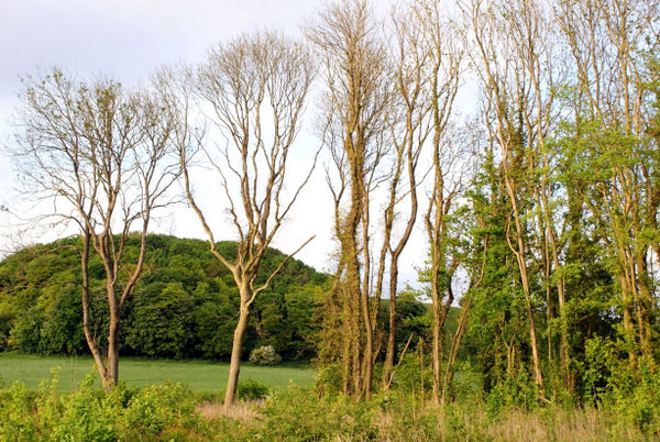 Sick and dying ash trees. Photo copyright Devon Wildlife Trust (All rights reserved)