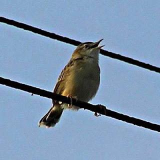 Burung Ciblek - Jenis Burung Ciblek Prinia Atrogularis Erythropleura - Penangkaran Burung Ciblek