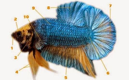 Pengertian Ikan cupang dan Mengenal jenis-jenis yang Ada ...