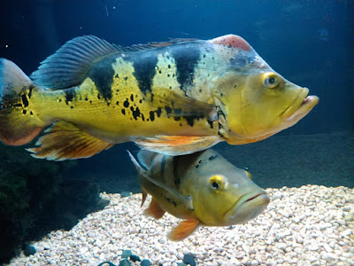 Ikan Peacock Bass