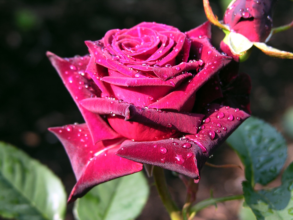 rose wallpapers best - photo #20