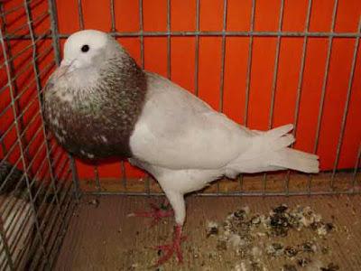 Gambar burung merpati cropper