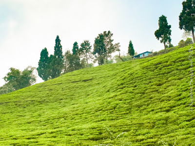 The green carpeted temi tea garden sikkim