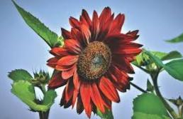 bunga matahari pink merah