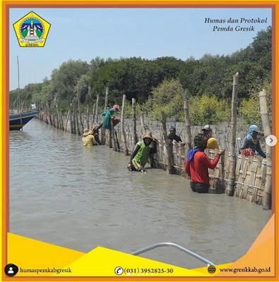 Wakil Bupati Gresik Tanam 50 Ribu Mangrove Di Pesisir Pantai Ujungpangkah