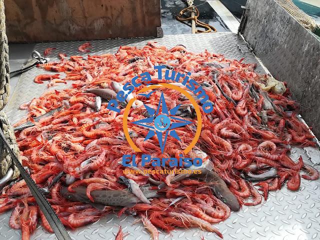 Gamba%2Bdel%2BParaiso%2Bsi%2Bapenas%2Bdescartes - El Paraiso y la gamba roja del Grau de Castelló una pesca sostenible, sin descartes y con futuro
