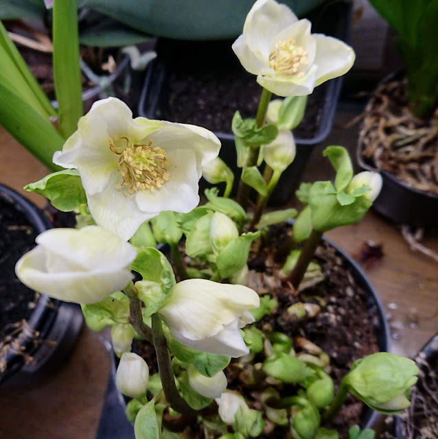 Helleborus 'Verboom Beauty'
