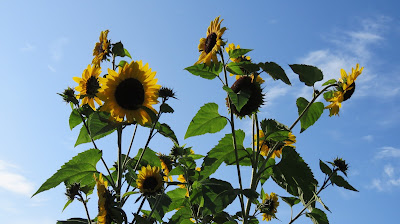 Sunflowers on the HenSafe Smallholding