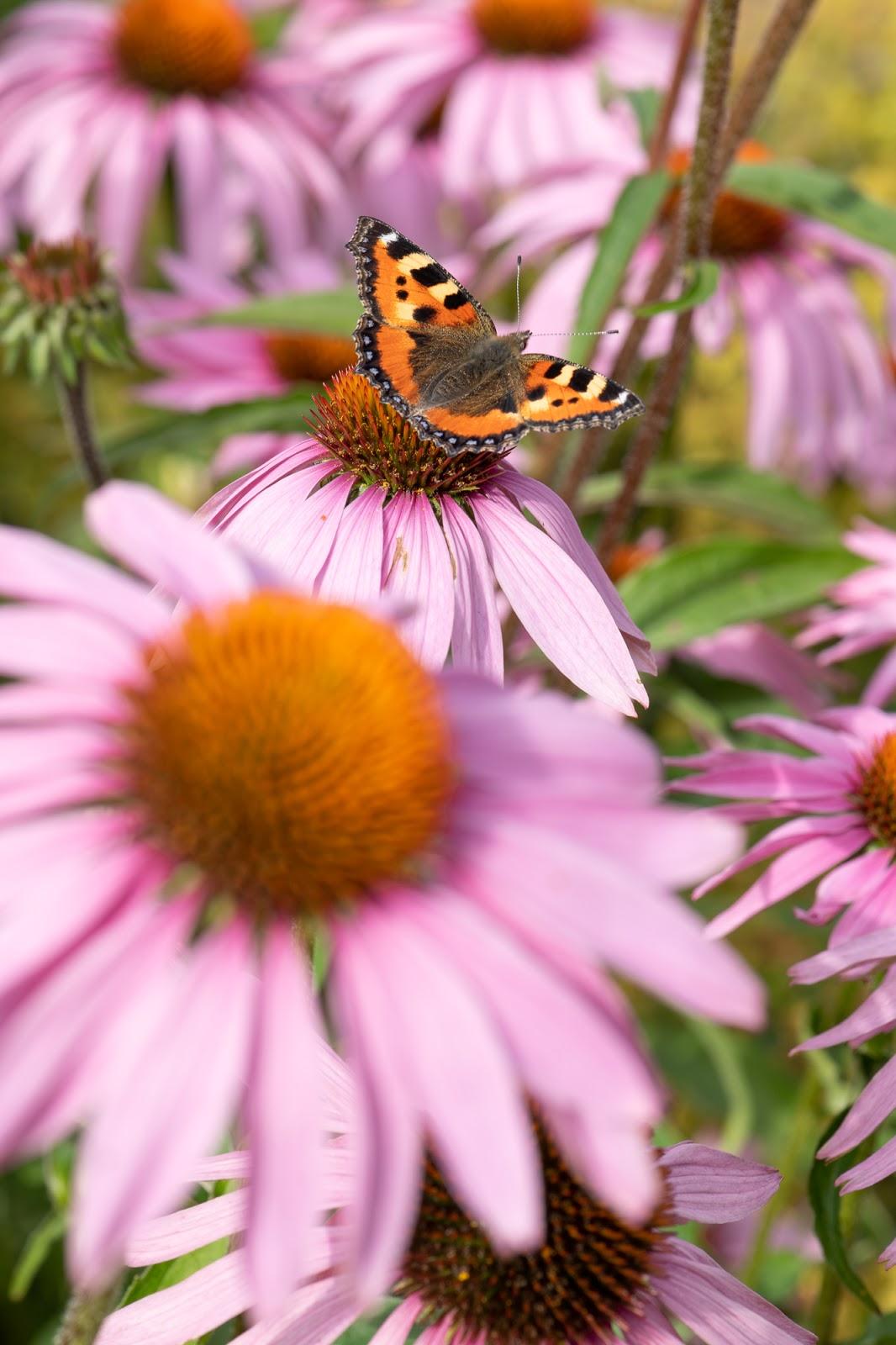 Perhospuutarha, nokkosperhonen