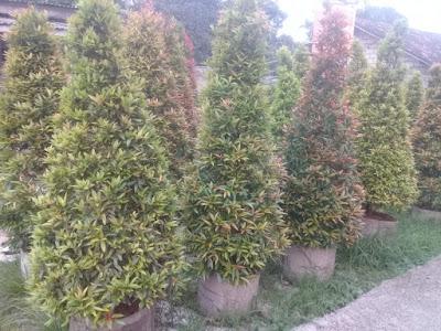 Jual pohon pucuk merah tinggi 150cm - Tukang Rumput Bogor