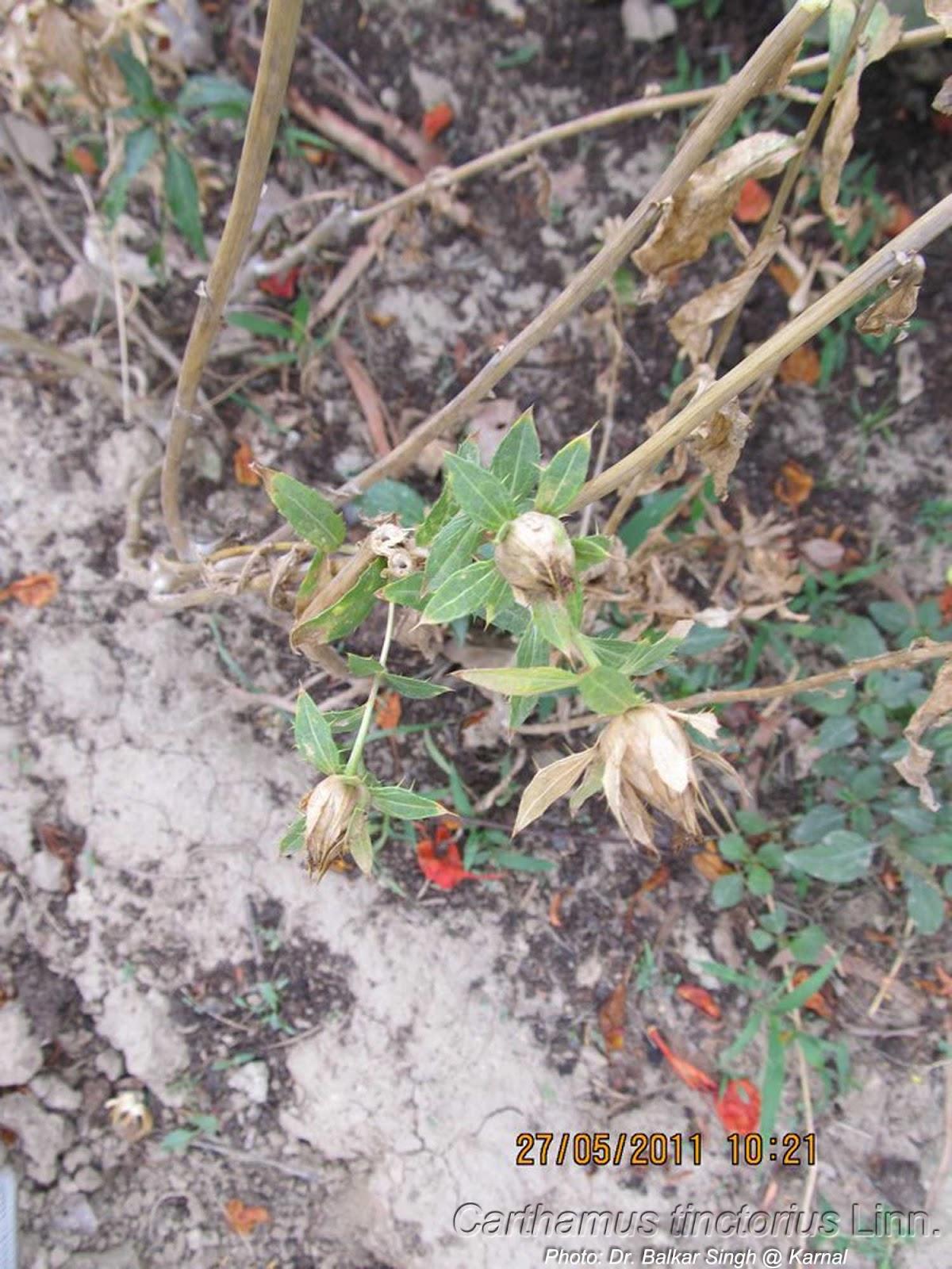Carthamus Tinctorius Safflower: Medicinal Plants: Carthamus Tinctorius Kardi Kusumalu