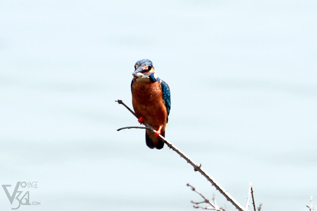 Common Kingfisher with its catch, a fish