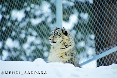 Snow leopards in Naltar, Gilgit Baltistan ,