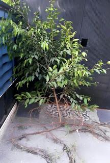 Pohon beringin bahan bonsai