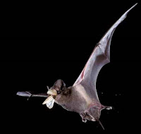 A gray bat in flight with a moth in its mouth on a black background