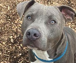 Chipit (Chihuahua American Pit Bull Terrier mix) Temperament, Size, Lifespan, Adoption