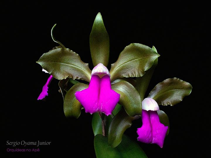 Resultado de imagem para fotos orquideas cattleyas