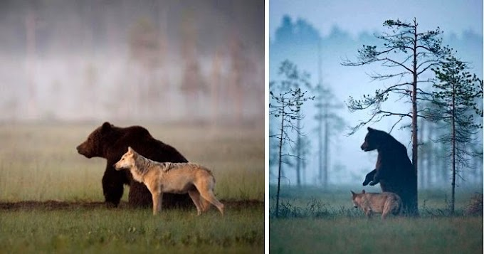Photographer Captured The Unlikely Friendship Between A Grey Wolf And A Brown Bear