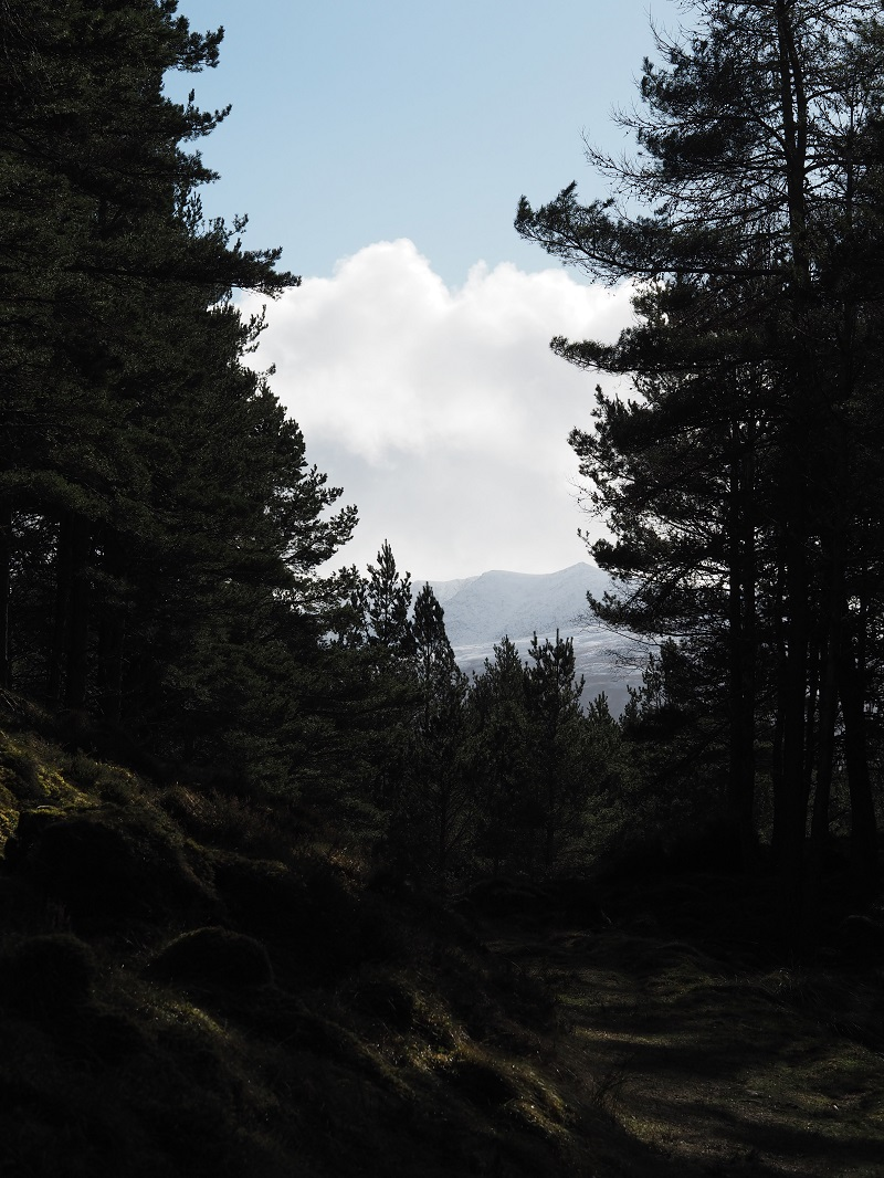 Through the pine trees on the Balmoral estate