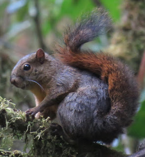 Sciurus granatensis, Red-tailed Squirrel