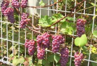 Wajib Tahu Tips Menyimpan Anggur