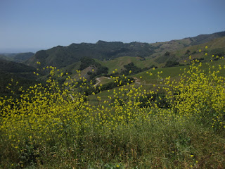 View of hills from upper Santa Rosa Creek Road, with yellow flowers, San Luis Obispo County, California