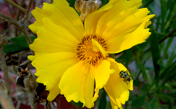 yellow coreopsis with green spotted bug