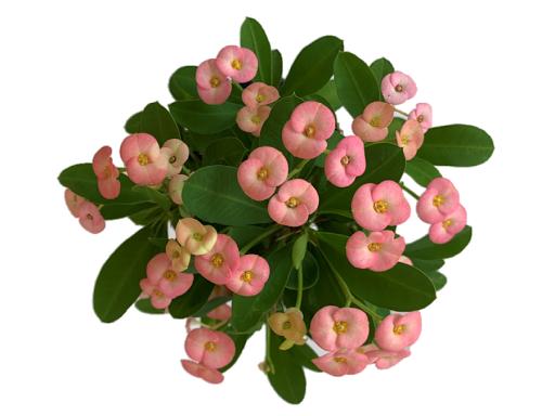 연중 꽃을 피울 수 있는 다육식물 '핑크라임' 개발