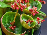 Close-up of the leaves and flowers of a CRASSULA UMBELLA