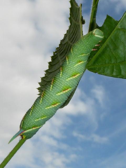 Mimas tiliae caterpillar